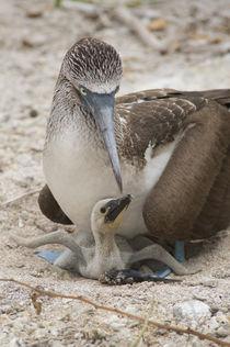Ecuador, Galapagos, Lobos Island von Danita Delimont