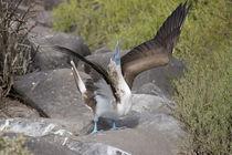 Ecuador, Galapagos, Espanola, Punta Suarez by Danita Delimont