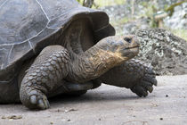 Giant Tortoise in highlands of Floreana Island, Galapagos Islands von Danita Delimont