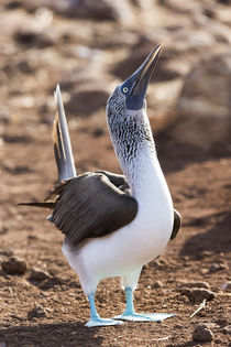 Ecuador, Galapagos Islands, North Seymour Island, blue-footed booby, by Danita Delimont