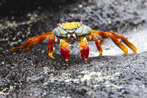 Ecuador, Galapagos Islands, Sombrero Chino, Sally Lightfoot crab, by Danita Delimont