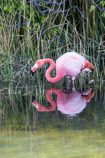 Ecuador, Galapagos Islands, Isabela, Punta Moreno, greater flamingo, by Danita Delimont