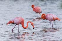 Ecuador, Galapagos Islands, Floreana, Punta Cormoran, greate... by Danita Delimont