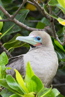 Ecuador, Galapagos Islands, Genovesa, Darwin Bay Beach, red-... by Danita Delimont