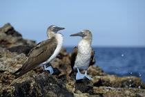 South America, Ecuador, Galapagos Islands, Isabela Island von Danita Delimont