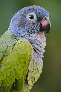 Blue-headed Parrot by Danita Delimont