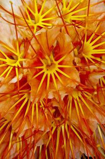 Brownea Flower von Danita Delimont