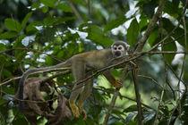 Common Squirrel Monkey von Danita Delimont