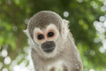 Common Squirrel Monkey by Danita Delimont