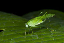 False Leaf Katydid by Danita Delimont