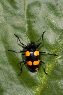 Fungus Beetle von Danita Delimont