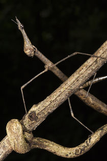 Jumping Stick Insect by Danita Delimont