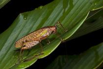 Katydid, Yasuni National Park, Amazon Rainforest, Ecuador by Danita Delimont