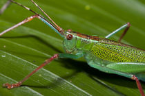 Katydid, Yasuni National Park, Amazon Rainforest, Ecuador von Danita Delimont