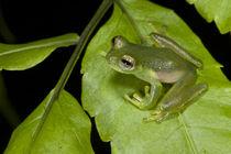 Santa Cecilia Glass Frog by Danita Delimont