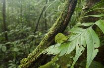 Small-leaf Katydid von Danita Delimont