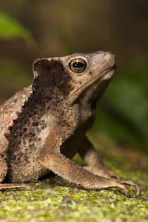South American Crested Toad von Danita Delimont