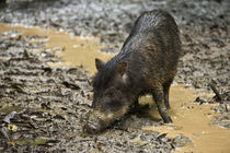 White-lipped Peccary at Saltlick by Danita Delimont
