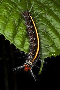 Wild Silk Moth Caterpillar von Danita Delimont