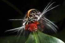Wild Silk Moth Caterpillar by Danita Delimont