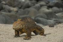 Galapagos Land Iguana von Danita Delimont