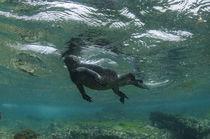 Marine Iguana underwater von Danita Delimont