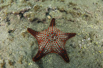 Panamic Cushion Star by Danita Delimont