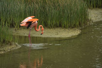 Greater Flamingo von Danita Delimont