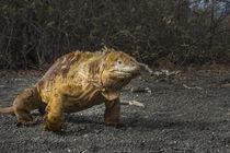 Galapagos Land Iguana by Danita Delimont
