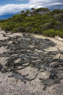 Marine Iguana Fernandina Island von Danita Delimont