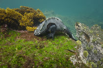 Marine Iguana underwater by Danita Delimont