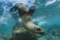 Galapagos Sealion underwater von Danita Delimont