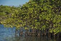 Red Mangrove by Danita Delimont