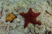 Chocolate Chip Starfish & Panamic Cushion Star by Danita Delimont