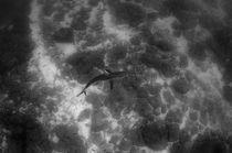 Galapagos Shark von Danita Delimont