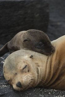 Galapagos Sealion Mother & new pup by Danita Delimont