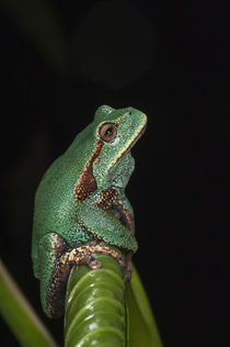 Gastrotheca orophylax by Danita Delimont