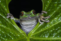 Gastrotheca pseustes by Danita Delimont