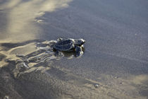 Releasing turtle hatchlings to the sea by Danita Delimont