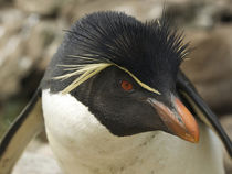 Portrait of rockhopper penguin. Credit as: Ellen Anon / Jayn... by Danita Delimont