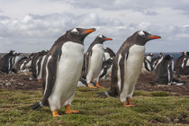 South America, Falkland Islands, Bleaker Island by Danita Delimont