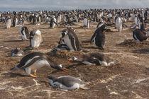 South America, Falkland Islands, Sea Lion Island by Danita Delimont