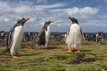 South America, Falkland Islands, Bleaker Island von Danita Delimont
