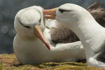 South America, Falkland Islands, Saunders Island von Danita Delimont