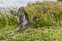 Falkland Islands, Sea Lion Island von Danita Delimont