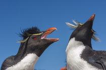 Falkland Islands, Bleaker Island by Danita Delimont