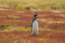 Falkland Islands, Sea Lion Island von Danita Delimont