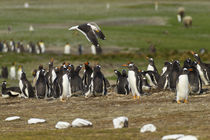 Falkland Islands, East Falkland, Volunteer Point von Danita Delimont