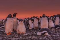 Falkland Islands, Sea Lion Island by Danita Delimont