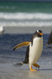 Saunders Island. Gentoo penguin walking on the beach. by Danita Delimont